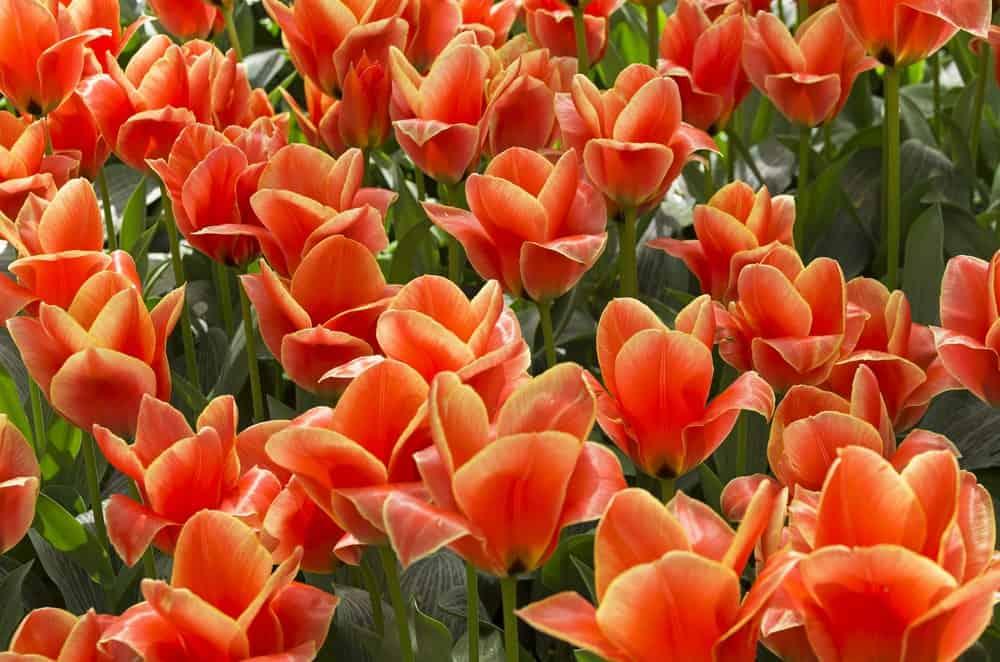 Calypso tulips