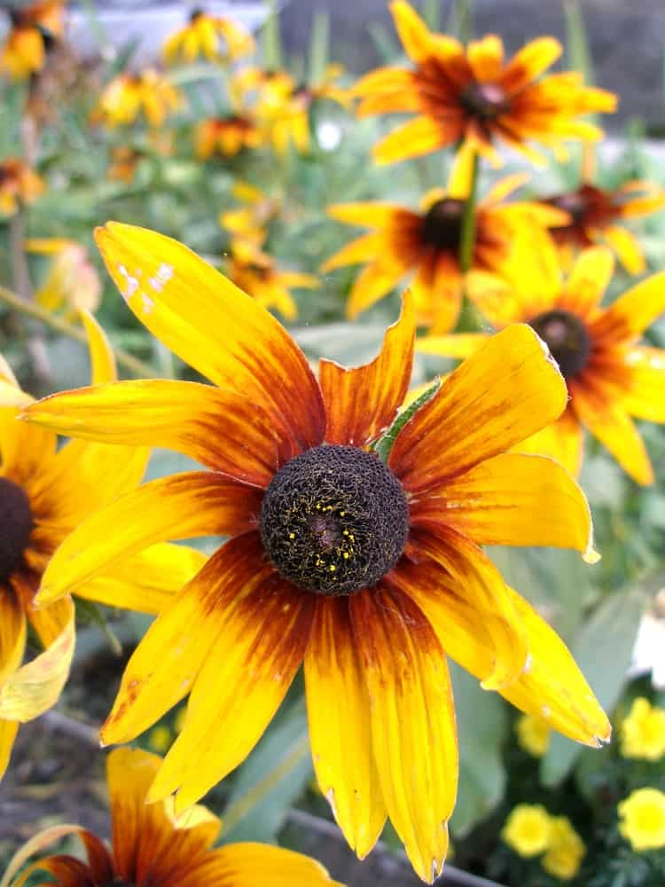 Cappuccino black-eyed susans