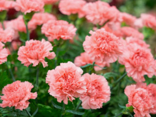 10 Different Types of Carnations (Everything You Need To Know About)