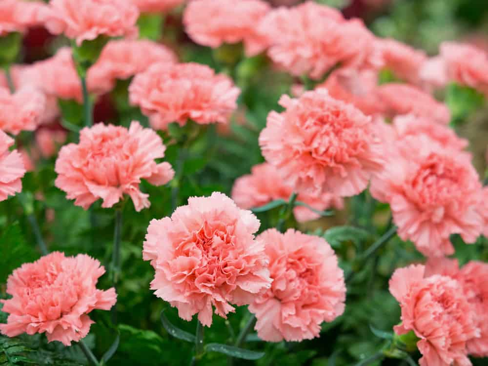A group of pink carnations.