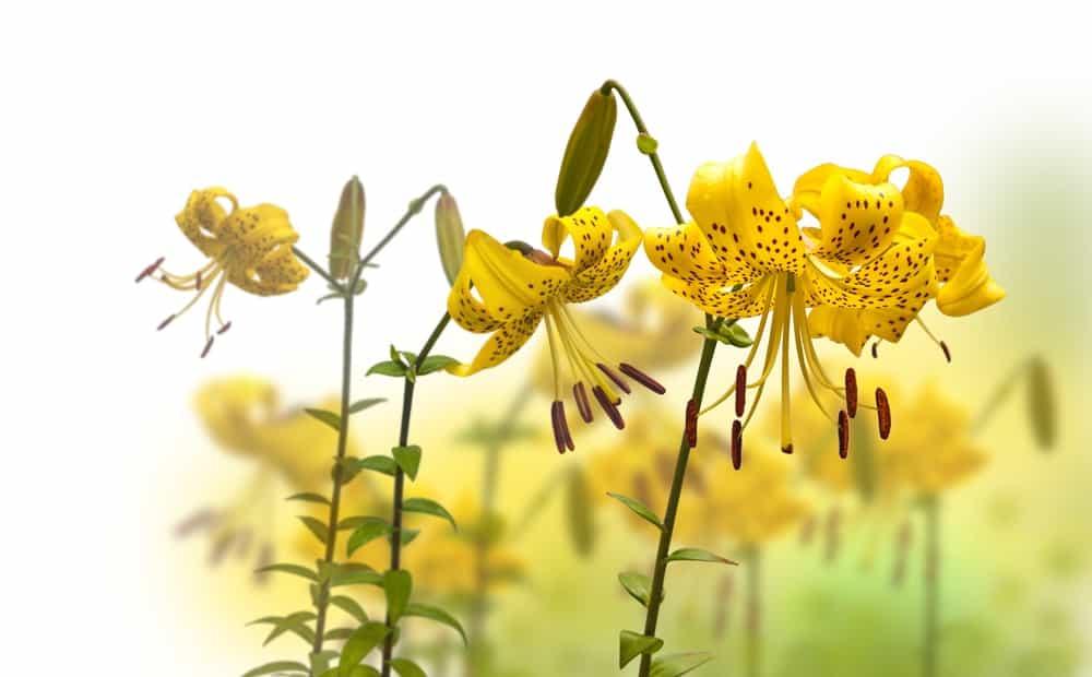 Citronella asiatic lily