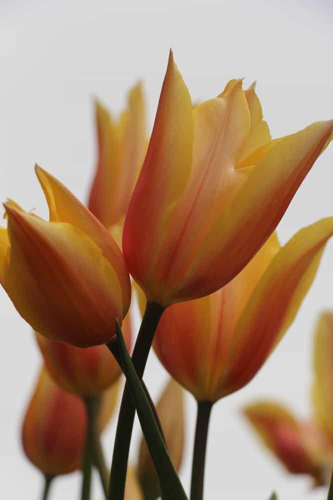 Cynthia tulip
