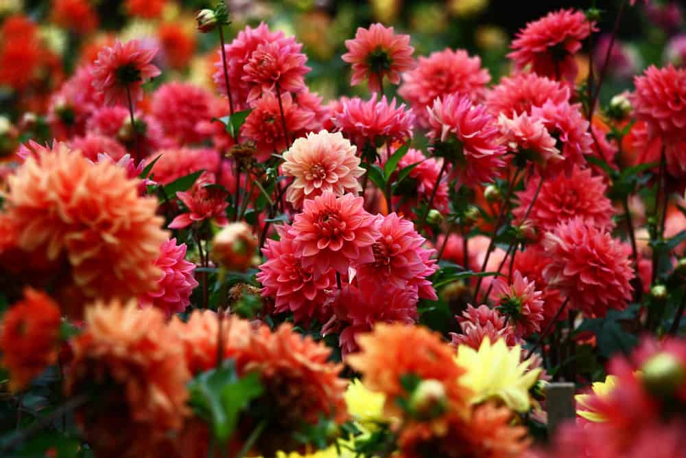 Different dahlias in a flower bed.
