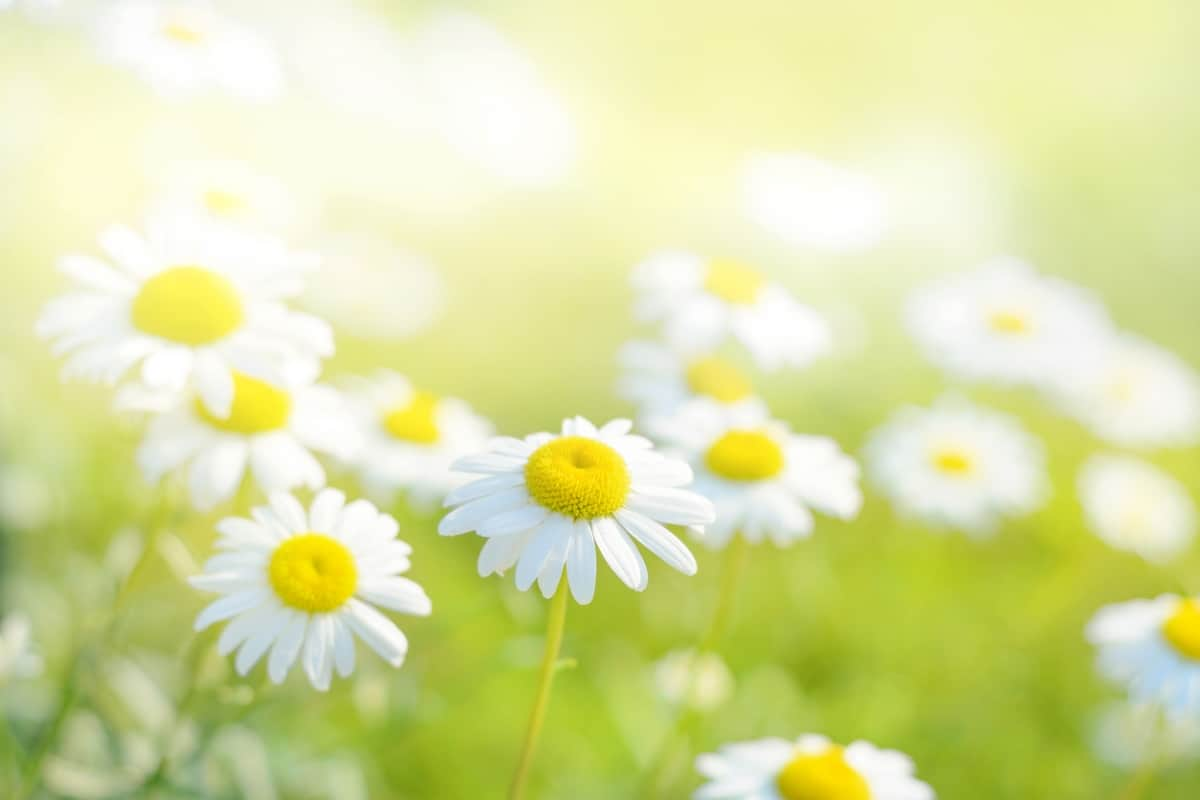 43 Different Types Of Daisies