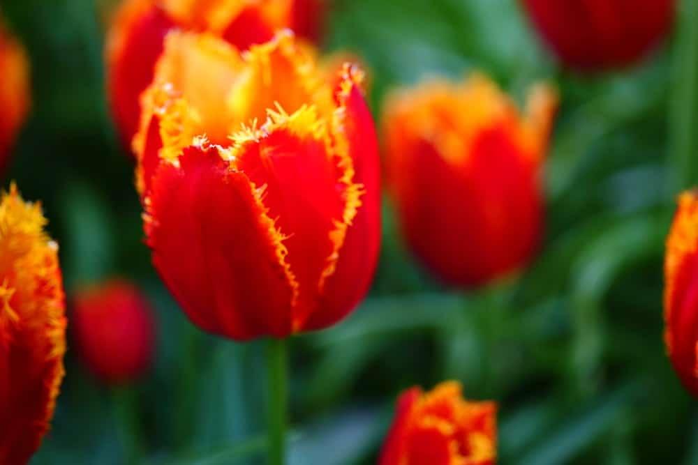 Davenport tulip