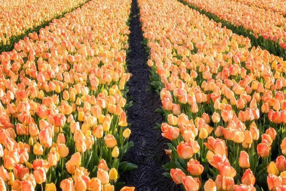 Daydream tulips