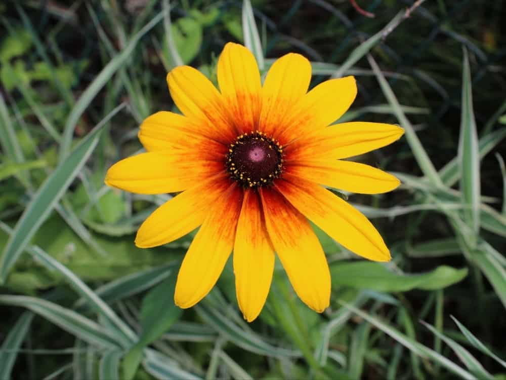 Denver daisy