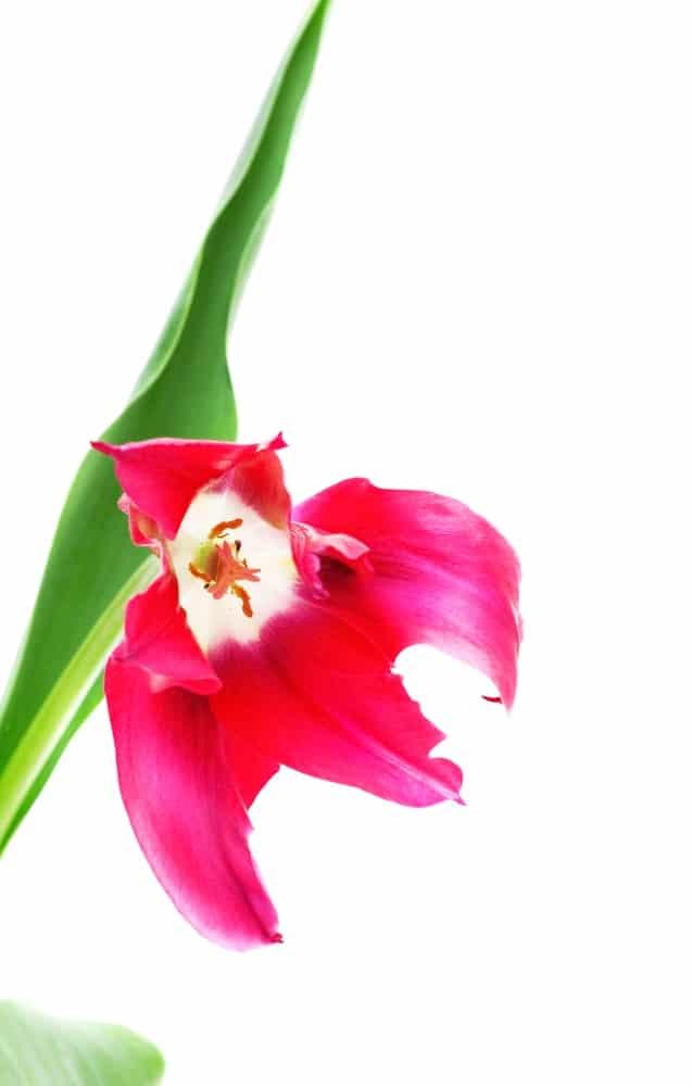 Doll's minuet tulip