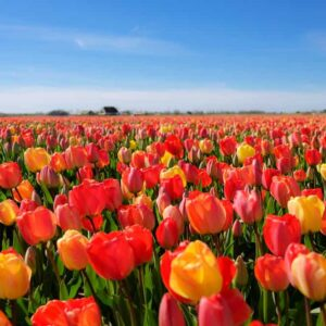 Field of different types of tulips