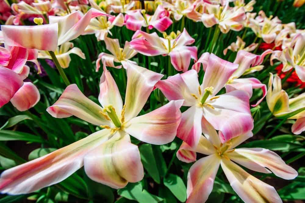 Florosa tulip