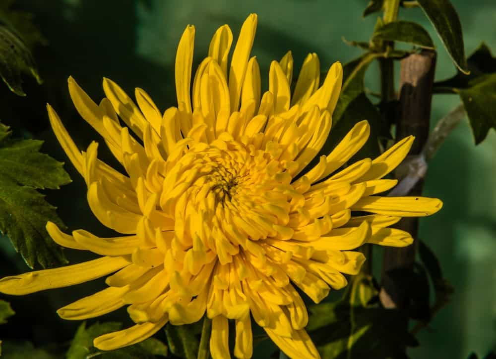 Football chrysanthemum
