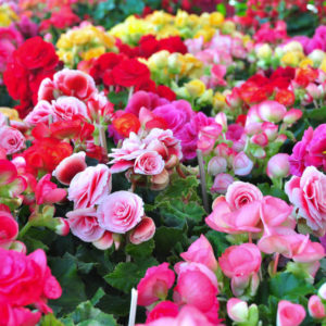 Garden full of beautiful begonias of different colors