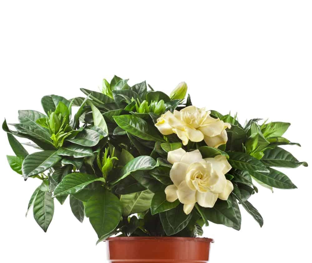 Gardenia plant.