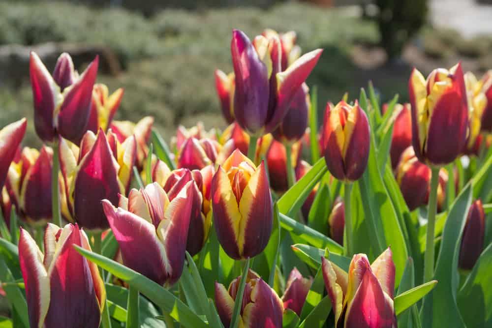 Gavota tulip