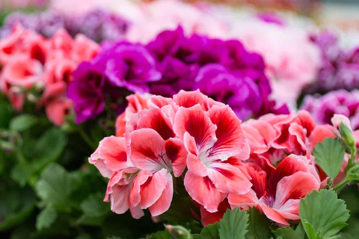 Geranium flowers.
