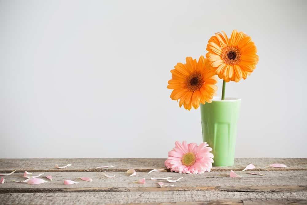 Gerbera daisies.