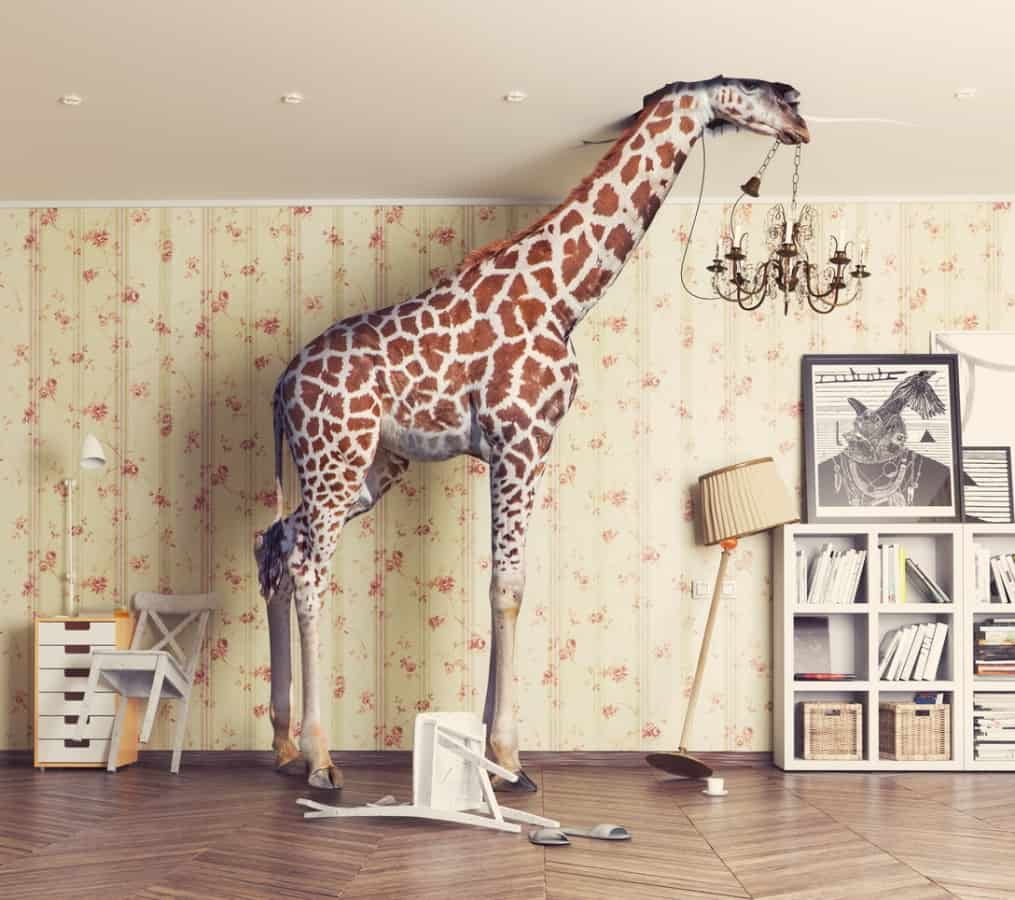 A giraffe in the living room.