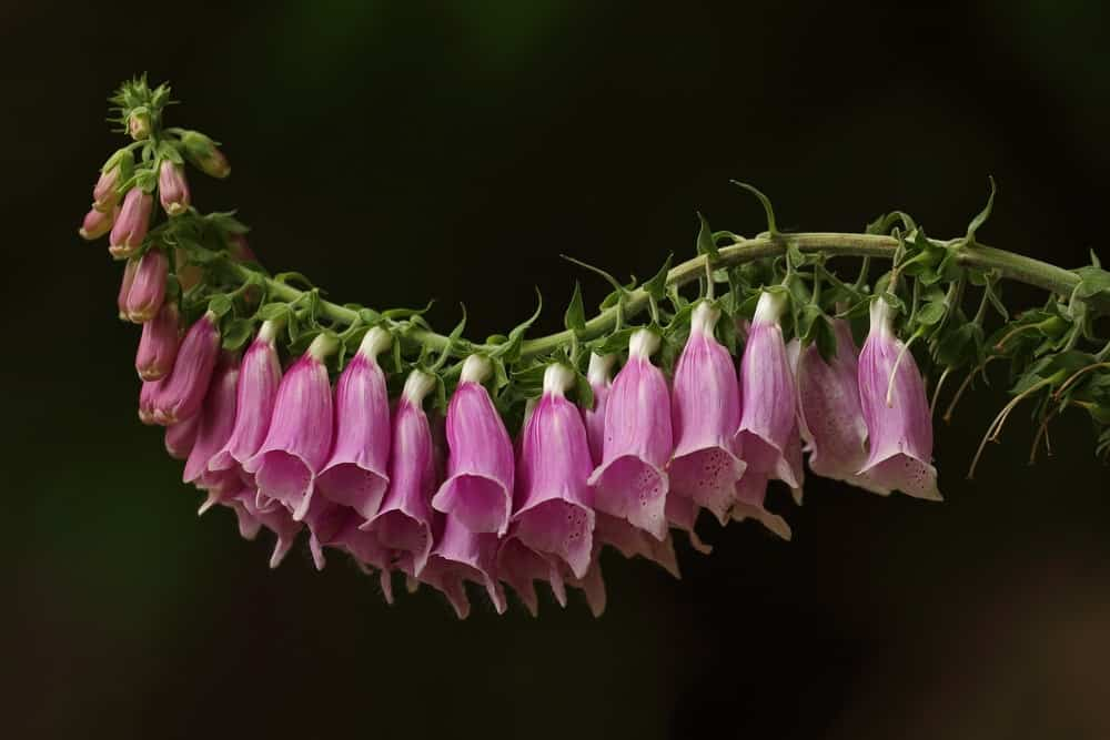 Growing foxglove flowers