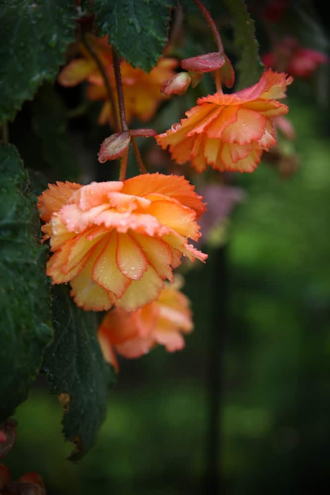The 12 Types Of Begonias For Your Garden