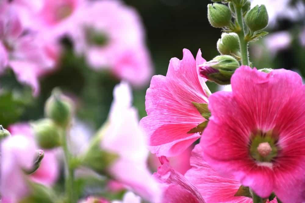 Holly Springs azalea