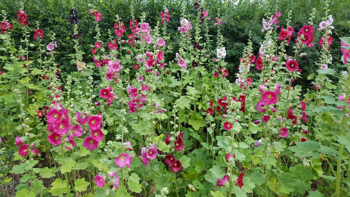 Hollyhocks flowers.
