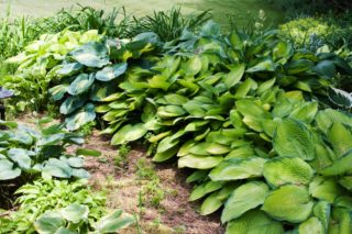 57 Different Types of Hostas (Plantain Lilies)