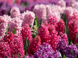20 Different Types of Hyacinths and All You Need To Know About It