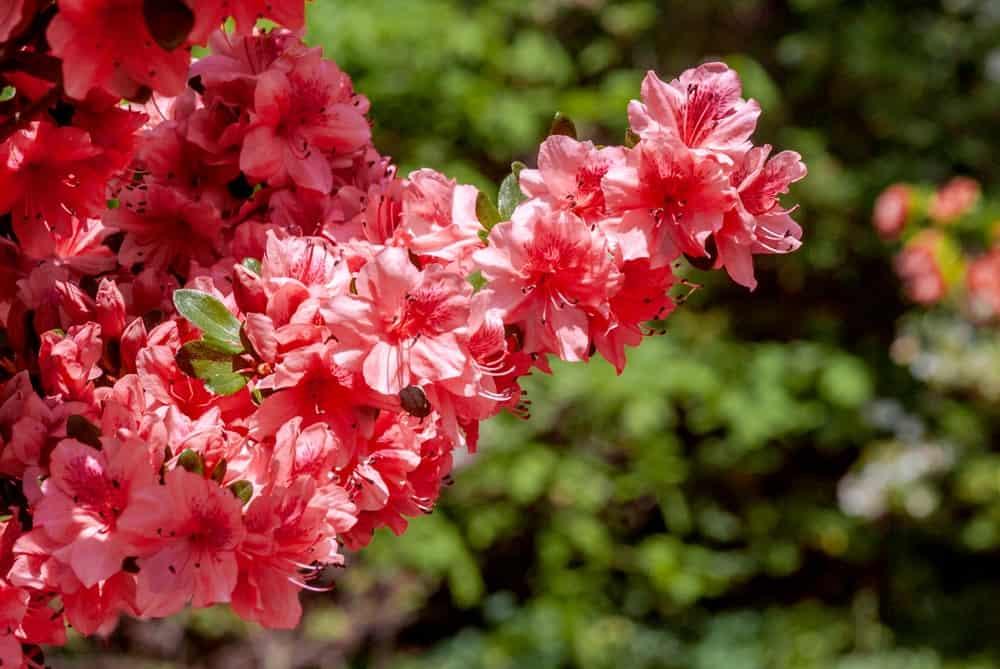 Hybrid azaleas