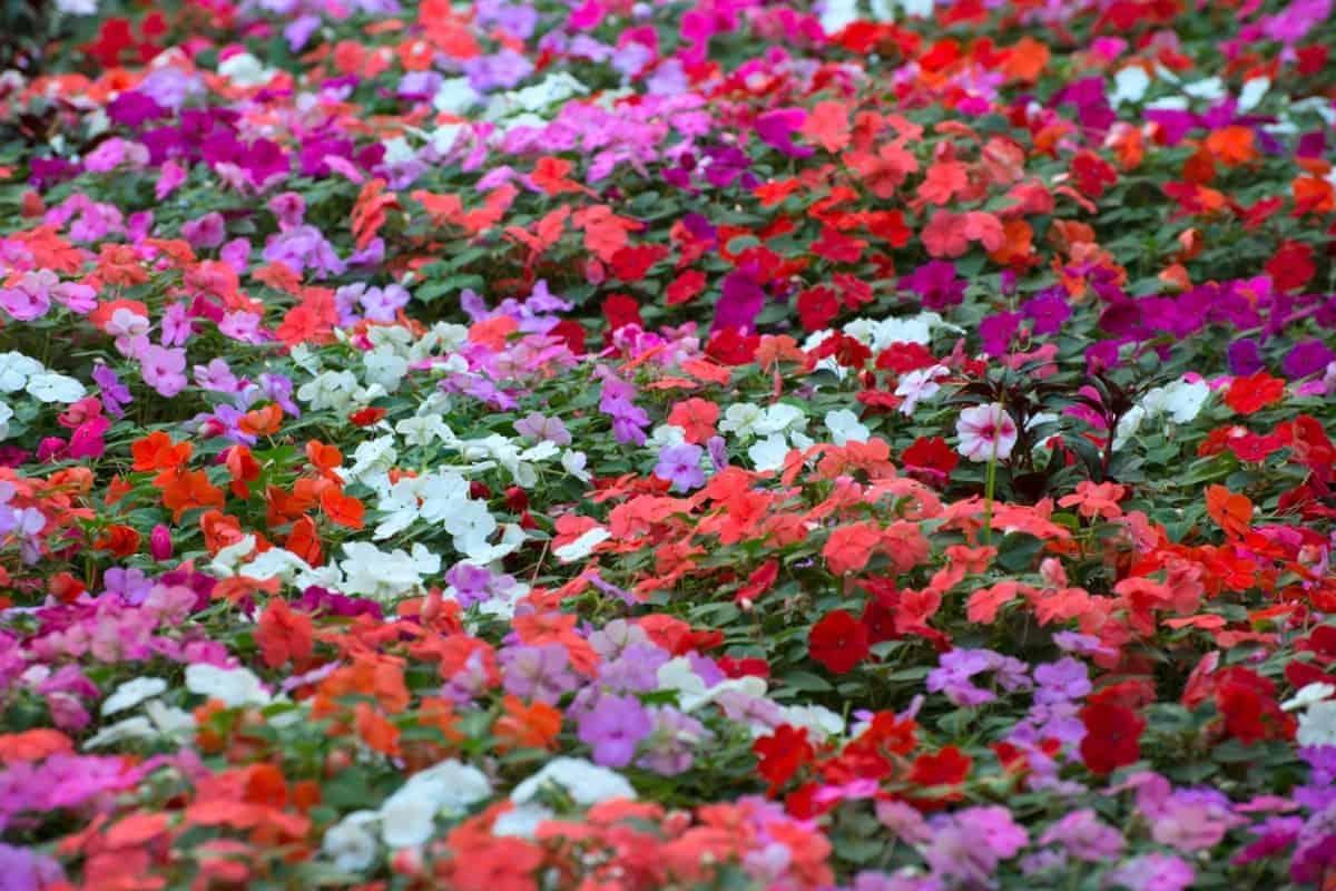 A carpet of impatiens flowers.