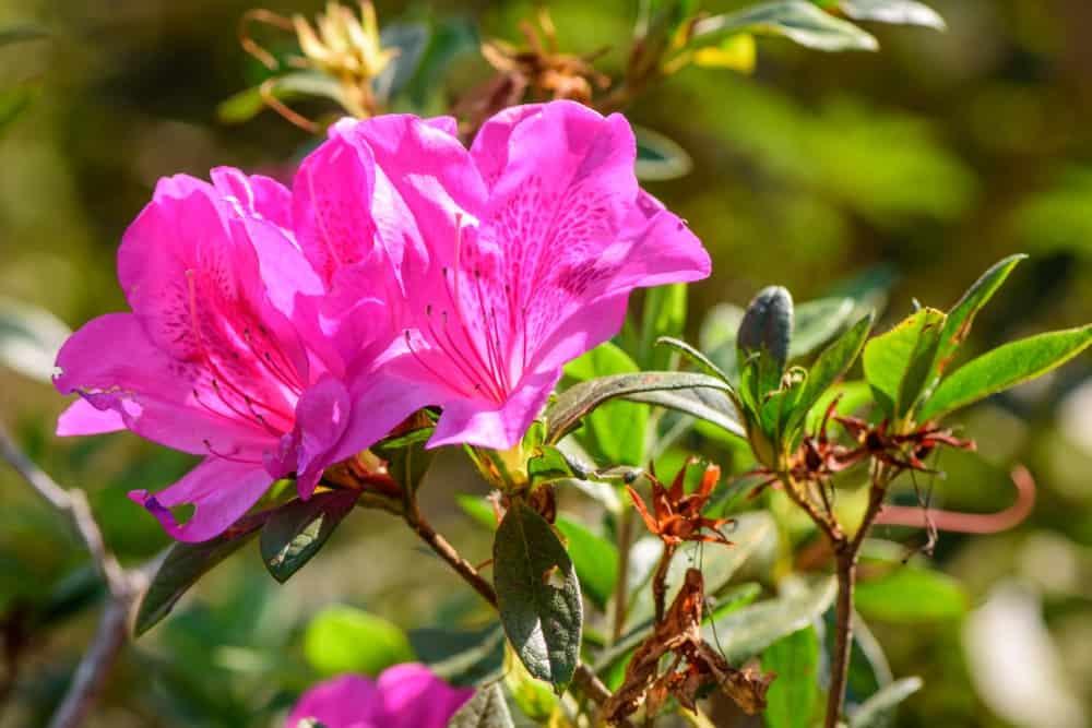 Indica group azaleas