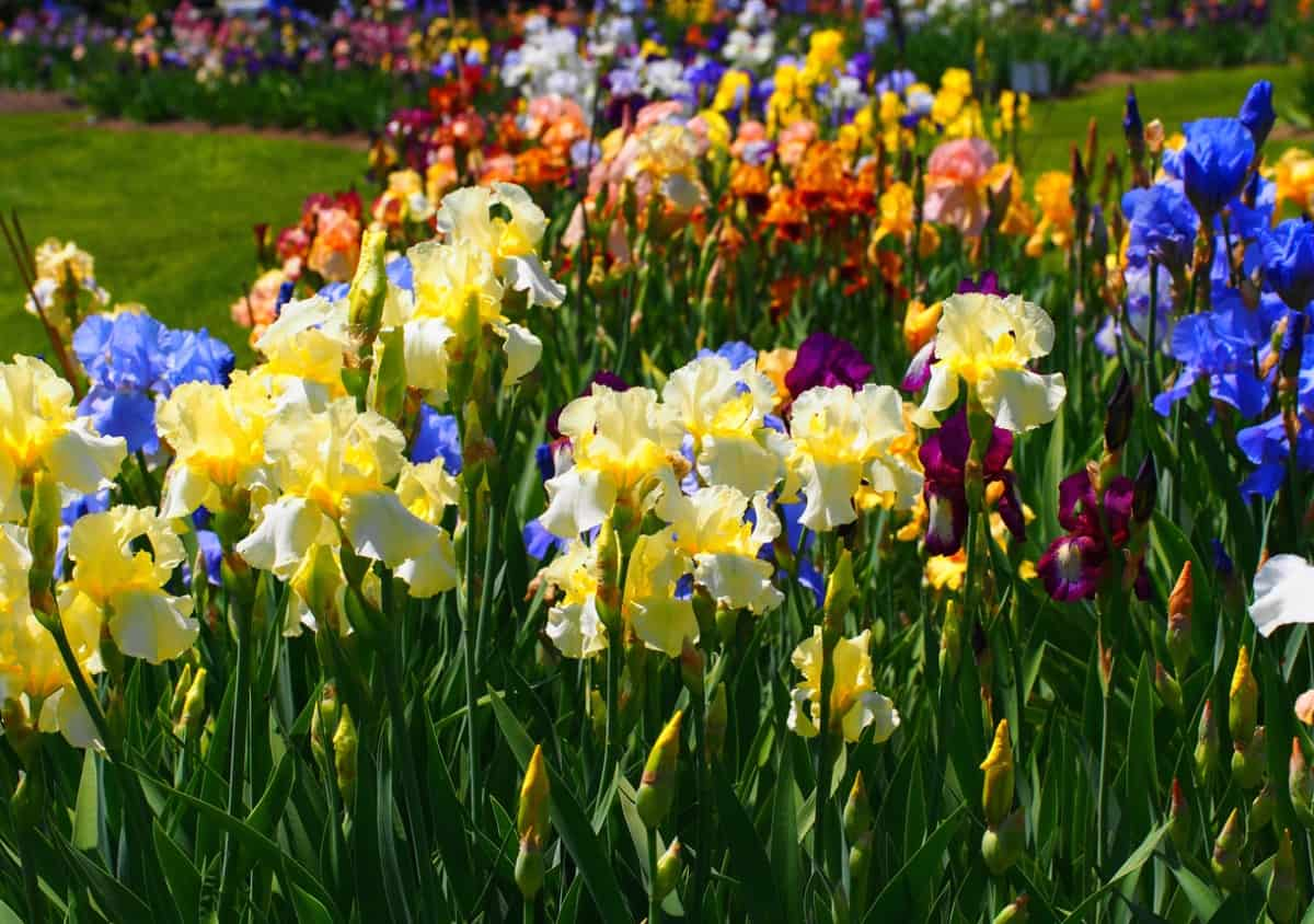 Different types of iris flowers in a garden.