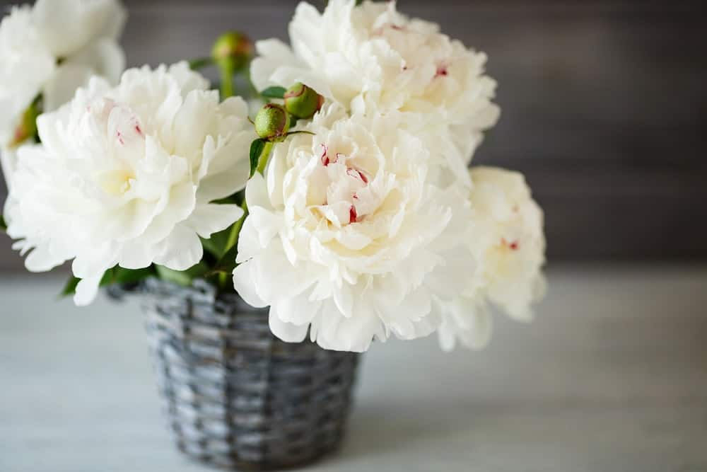 Krinkled white peonies
