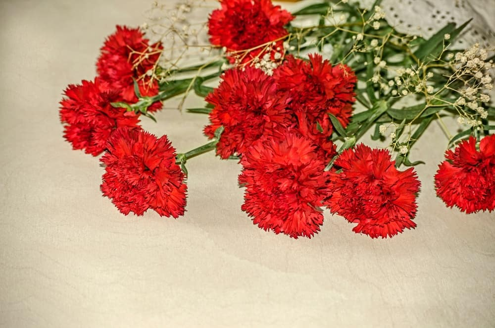 Large carnation flowers