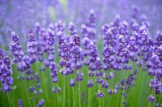 27 Different Types of Lavender and Benefits of Growing Them
