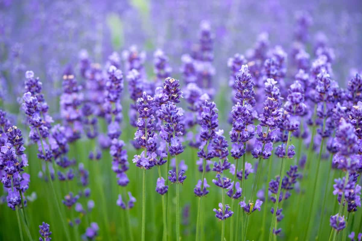 Lavender flowers in an open field.