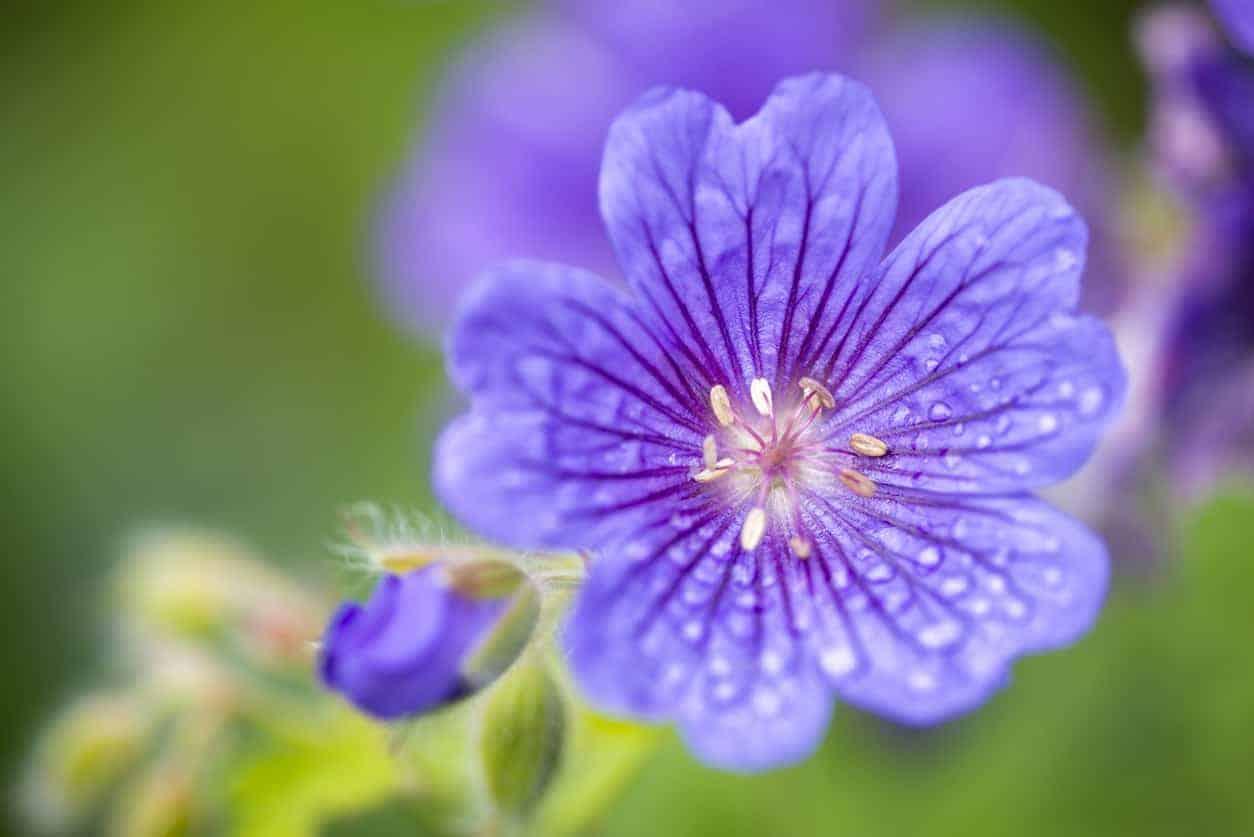 Magnificum geranium