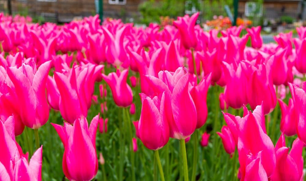 Mariette tulip