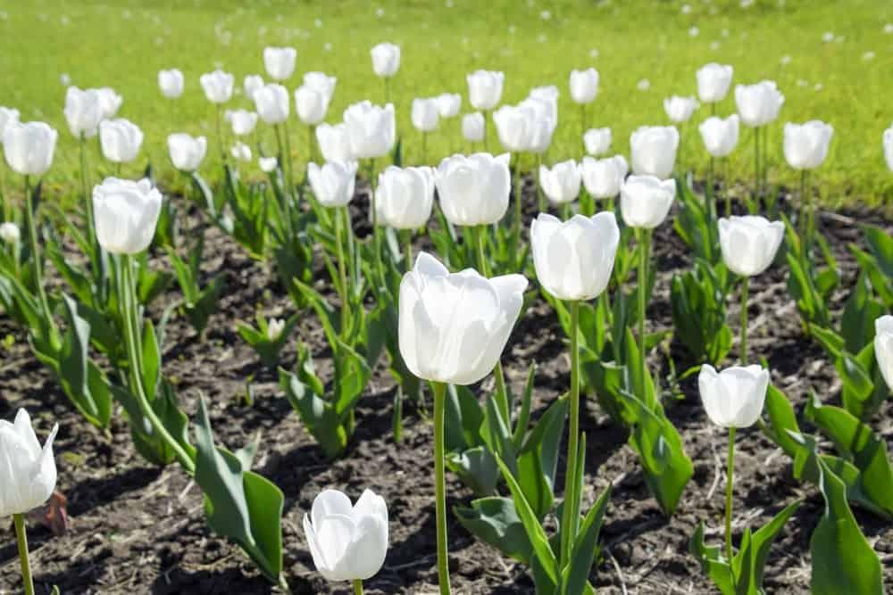 Mondial tulips