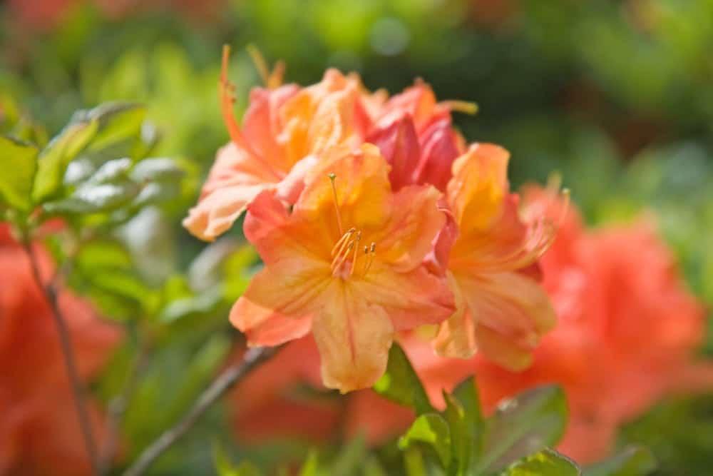 Orange to red azaleas