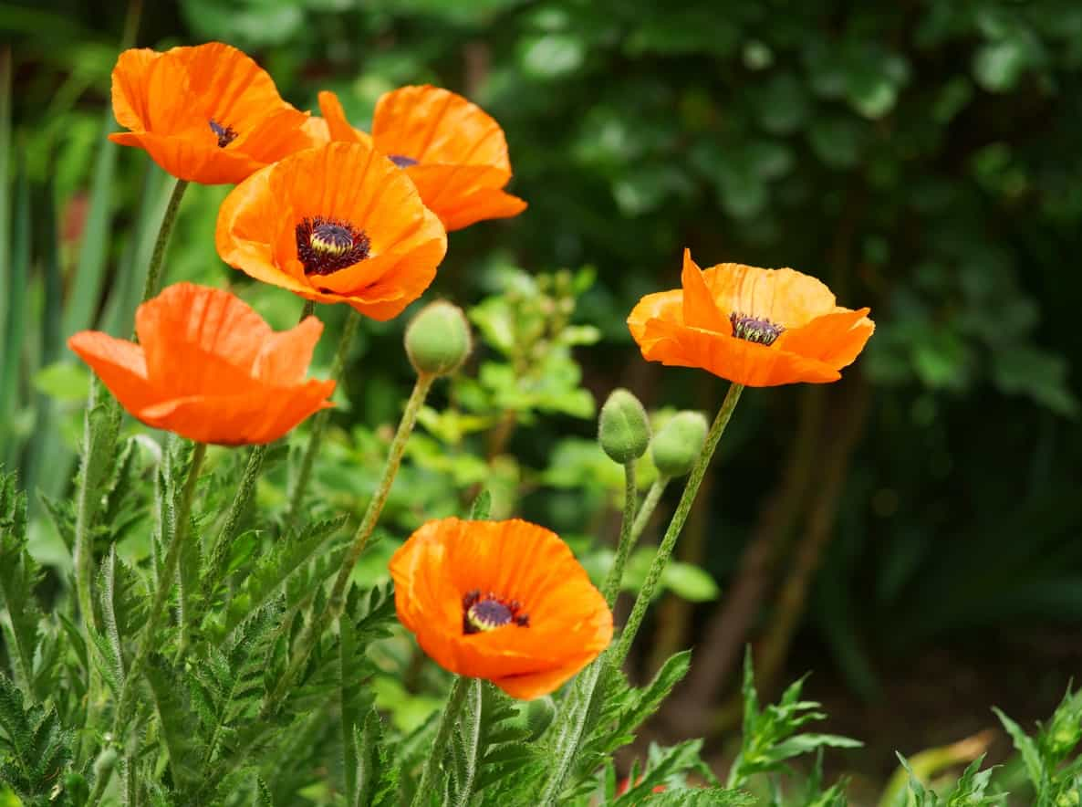 Oriental poppies flower.