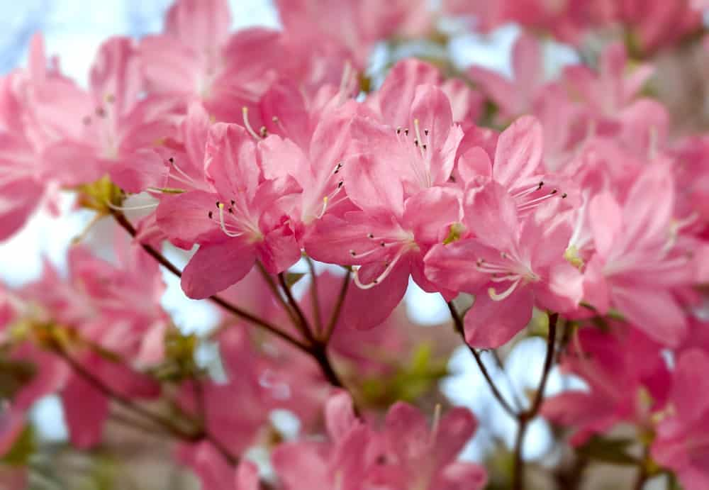 Pink group azaleas
