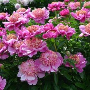 Spectacular pink peonies garden