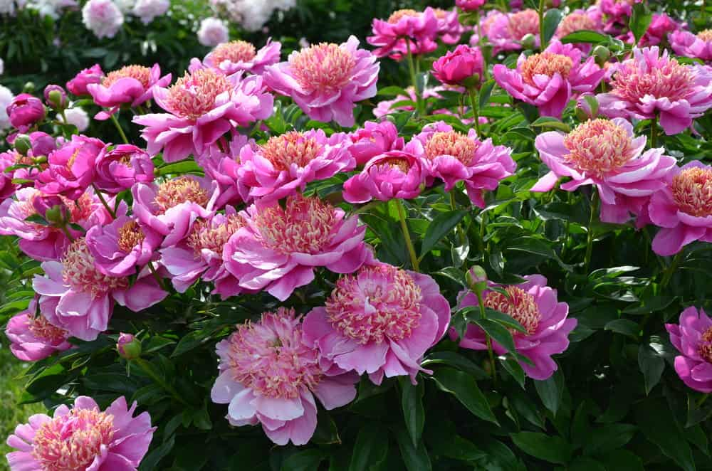 31 Types of Peonies (All Colors, Bloom Types and Varieties)