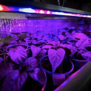 Indoor plants growing under UV lights.