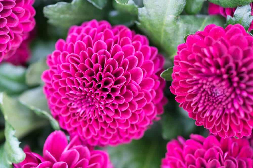 Pompons chrysanthemum