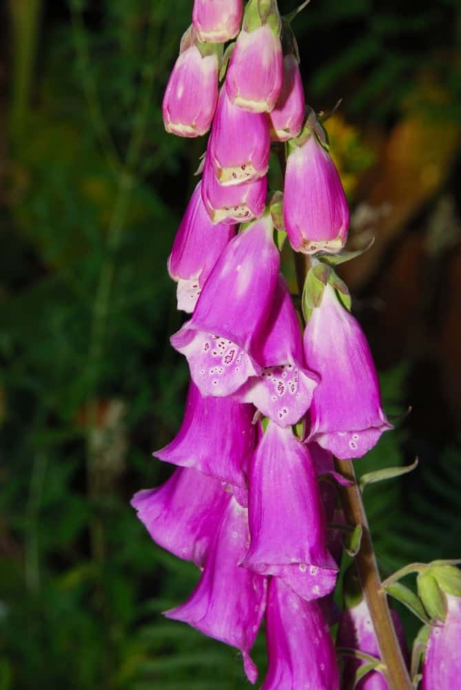 Rose-colored foxglove