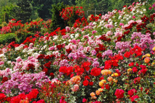 Incredible rose garden with many types of roses
