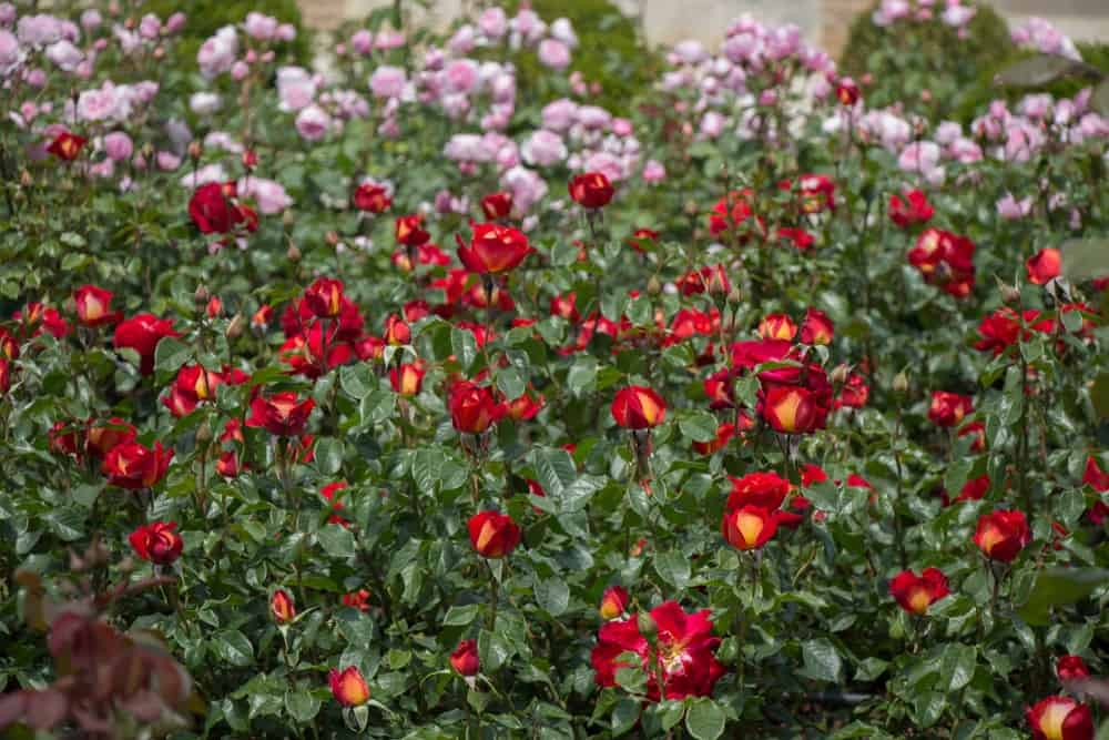 Beautiful roses bloom in the garden.