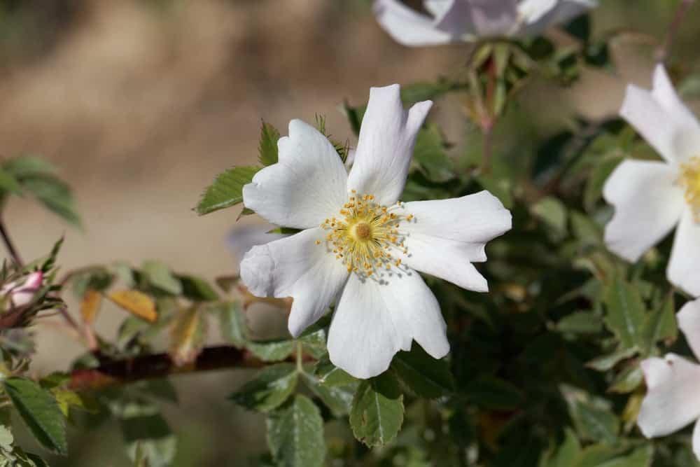 Sempervirens rose
