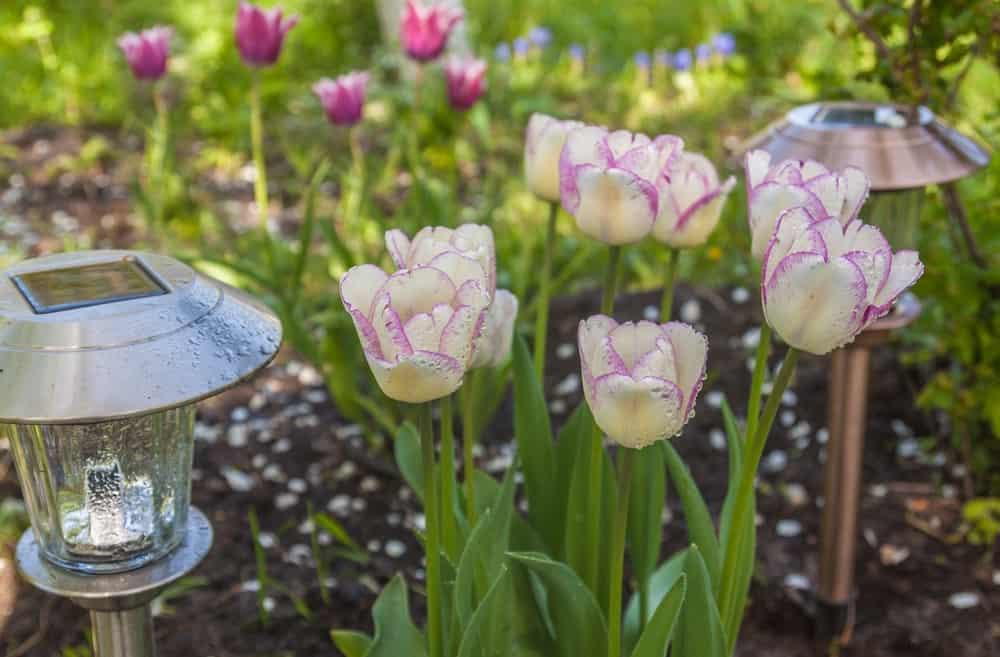 Shirley tulip